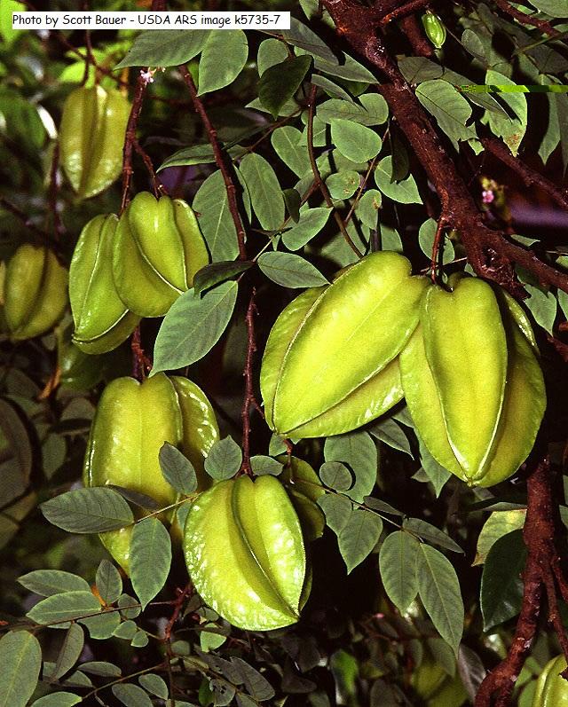 sternfrucht karombola averrhoa carambola pflanzen