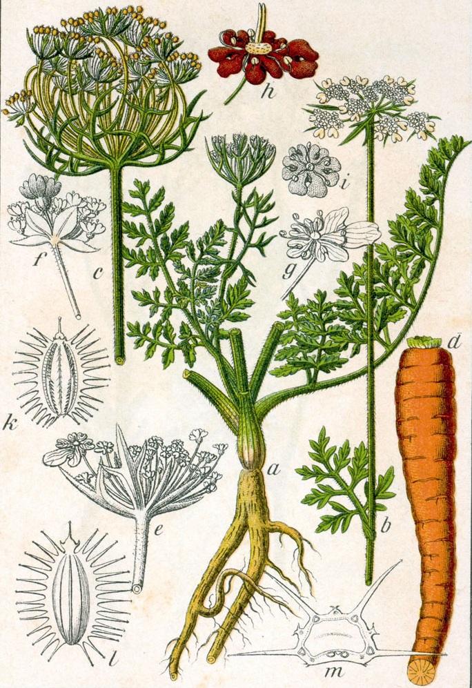 Echte Möhre Daucus Carota Pflanzen Lexikon Com