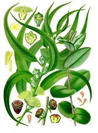 schnell wachsende baeume pflanzen