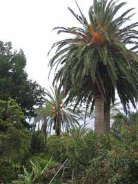 kanarische dattelpalme phoenix canariensis pflanzen