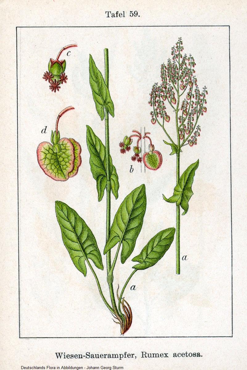 Gemeinsame Sauerampfer (Rumex acetosa) | Pflanzen-lexikon.com &PP_09
