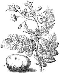 kartoffel solanum tuberosum pflanzen. Black Bedroom Furniture Sets. Home Design Ideas