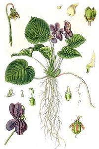 duftveilchen viola odorata pflanzen. Black Bedroom Furniture Sets. Home Design Ideas