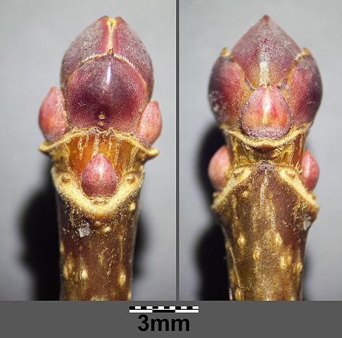 Knospen des Spitzahorns | Pflanzen-lexikon.com