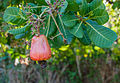 Cashewbaum (Anarcadium occidentale)