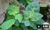 Atriplex hortensis, Video, Urheber/Quelle/Lizenz: FRESHCUTKY Cut Flower & Vegetable Garden, Youtube