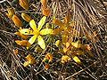 Goldenstar (Bloomeria crocea)