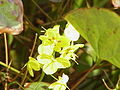 Gefiederte Elfenblume (Epimedium pinnatum)