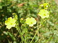 Hügel-Fingerkraut (Potentilla collina)